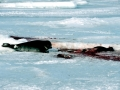 Hooded Seal