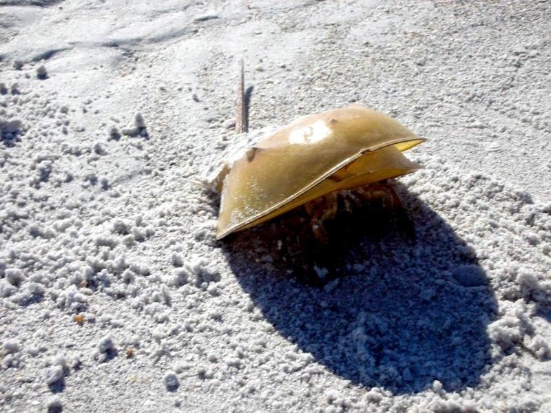 Giant Horseshoe Crab Horseshoe Crab