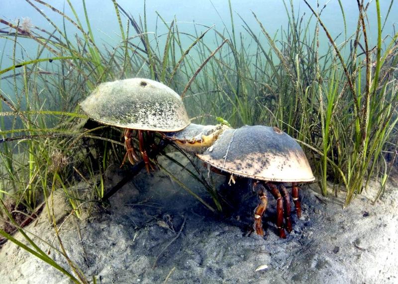 how to catch horseshoe crabs