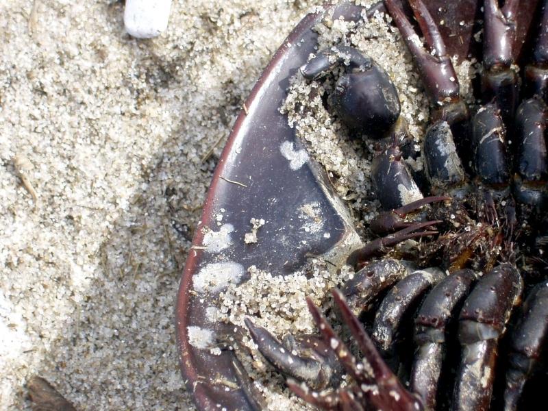 Horseshoe Crab Mouth Horseshoe Crab