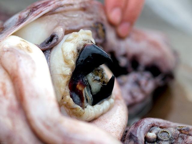 Octopus Schnabel