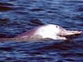 Indo-Pacific Humpback Dolphin