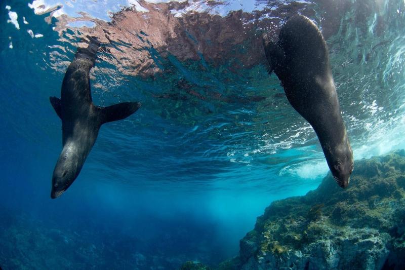 Juan Fernandez Fur Seal