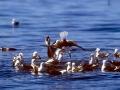 Kelp Seagull
