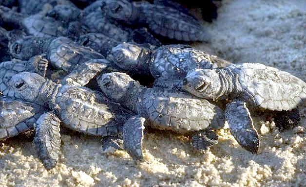 Kemps Ridley Sea Turtle Shell Kemp's Ridley Sea Tu...