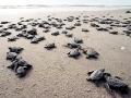 Kemp's Ridley Sea Turtle