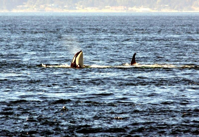 Killer Whale