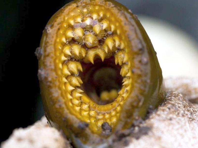 Lamprey Eel Ocean Treasures Memorial Library
