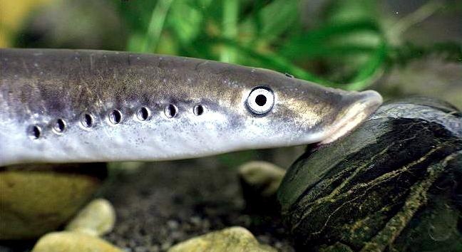 Lamprey Eel