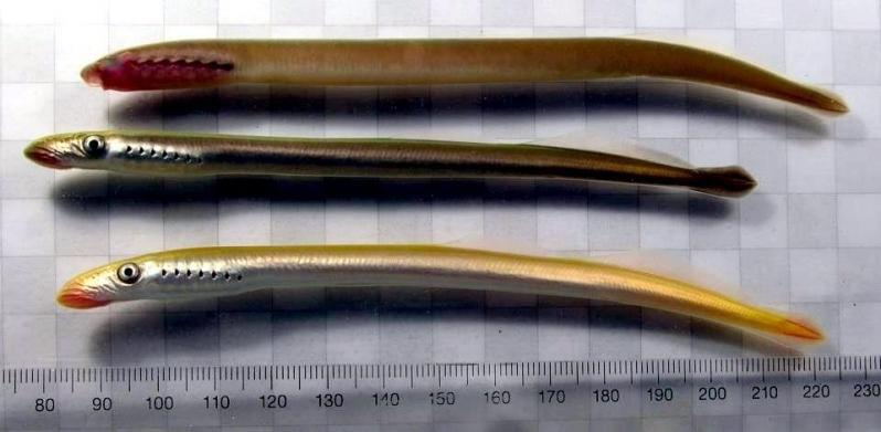 Sea Lamprey Eel