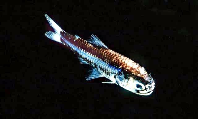 Lanternfish –