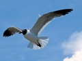 Laughing Seagull