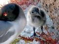 Lava Gull