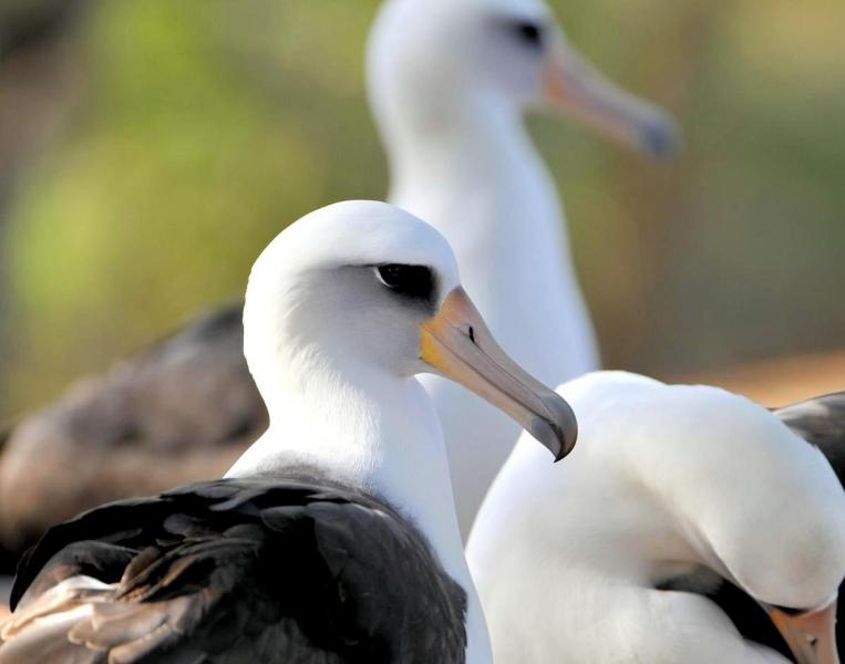 Laysan Albatross Quot Ocean Treasures Quot Memorial Library