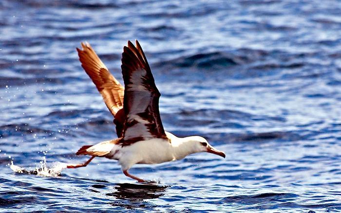 """Laysan Albatross – """"OCEAN TREASURES"""" Memorial Library"""