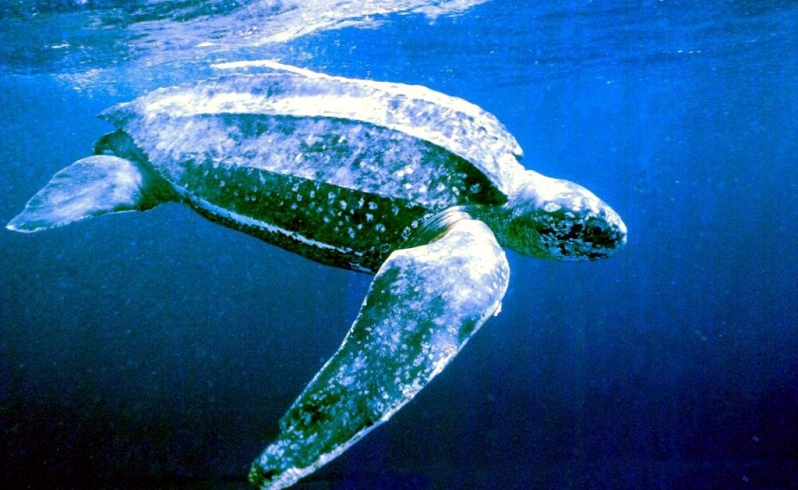 Leatherback sea turtle pictures in the water - photo#9