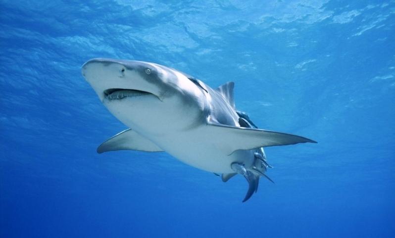Lemon Shark –