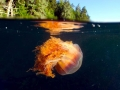 Lion's Mane Sea Jelly
