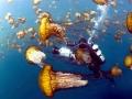 Lion's Mane Sea Jelly