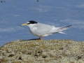 Little-Tern-2