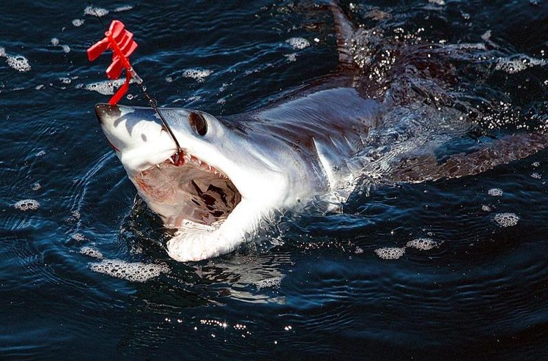 Longfin Mako Shark Quot Ocean Treasures Quot Memorial Library