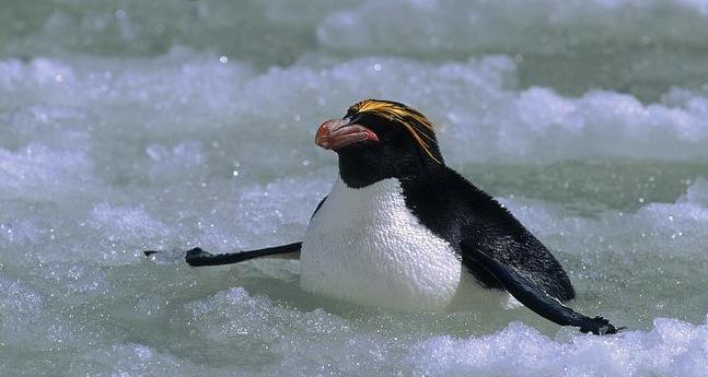 Macaroni Penguin