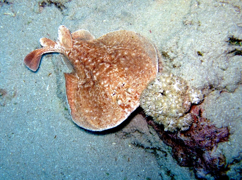 Marbled Torpedo Ray