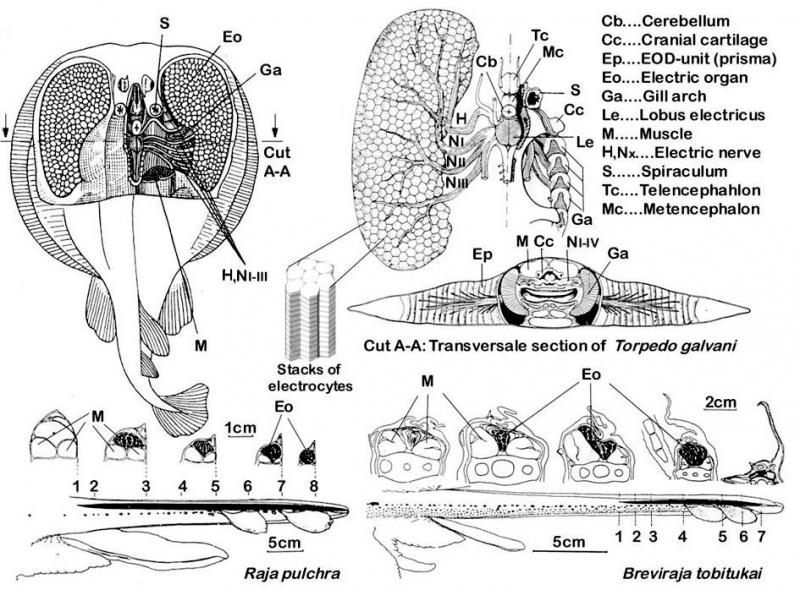 Hd Wallpapers Manta Ray Anatomy Diagram Hdhdhdpatternh