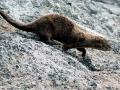 Marine Otter