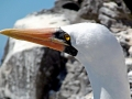 Masked Booby