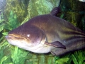 Mekong Giant Catfish