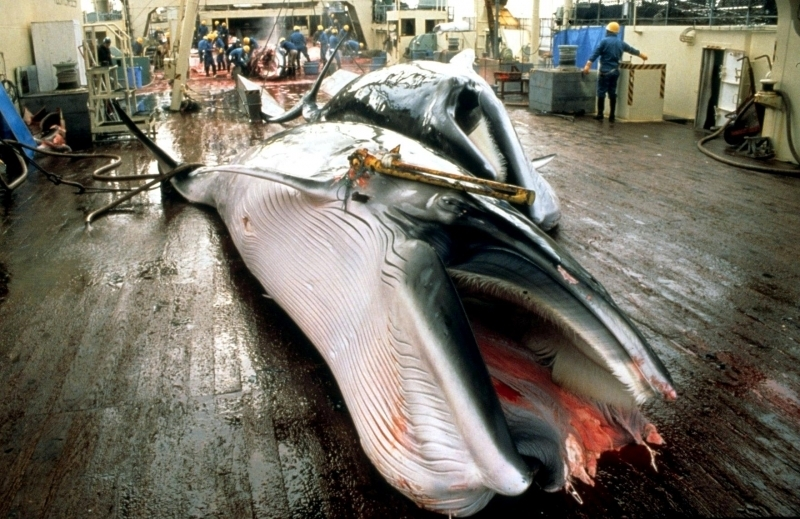 whale hunting Minke whales are commonly hunted by japanese whalers japan's whale hunting season begins legal loophole commercial hunting for the giant sea mammals has been banned since 1986.