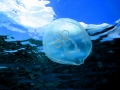 Moon Sea Jelly