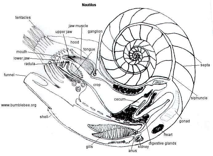 Chambered Nautilus      OCEAN TREASURES  Memorial Library