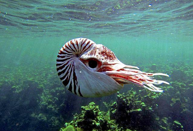 Chambered Nautilus –...