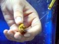 Chambered Nautilus