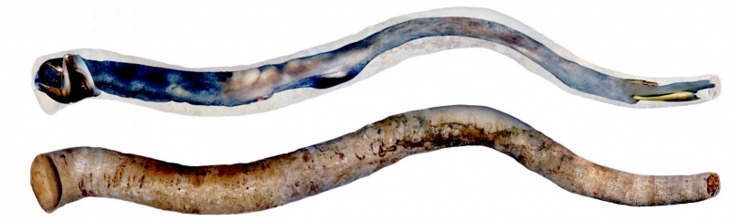 Shipworms  Wikipedia