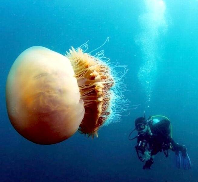 "Nomura's Sea Jelly – ""OCEAN TREASURES"" Memorial Library"