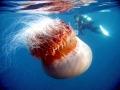 Nomura's Sea Jelly