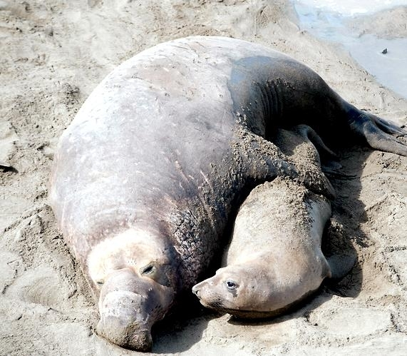 the migrations of northern elephant seals For northern elephant seals, the postbreeding migration begins in february or early march (figure 124), when the seals return to sea after spending one to three months ashore this migration averages two and one-half months for females and four months for males.