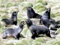 Northern Fur Seal