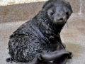 Northern Fur Seal