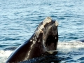 Northern Right Whale