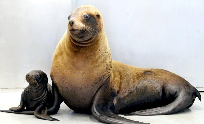 Northern Sea Lion