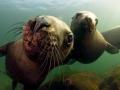 Northern Sea Lion