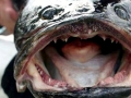 Northern Snakehead