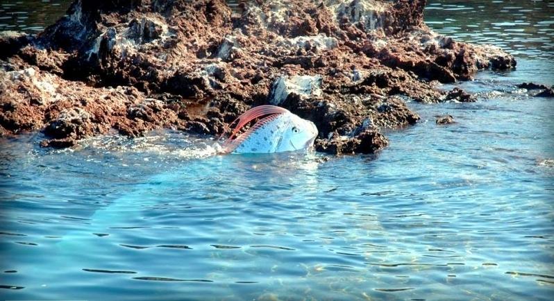 """Oarfish – """"OCEAN TREASURES"""" Memorial Library Oarfish Swimming"""