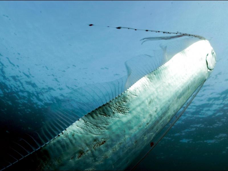 Oarfish Swimming In Ocean Oarfish Swimming