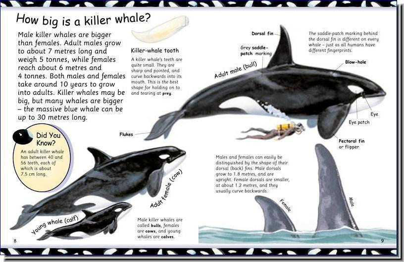 Student hand-outs during a typical program session:  KILLER WHALE