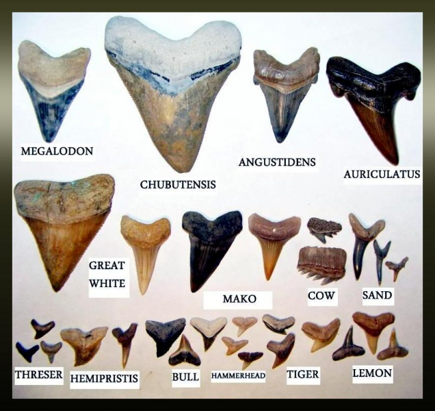 Student hand-outs during a typical program session:  SHARK TEETH DISPLAY